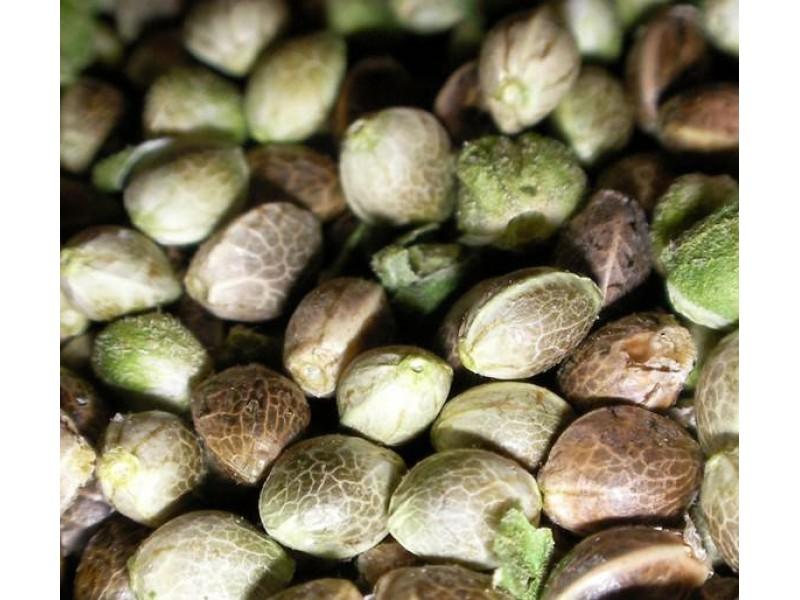 Семена конопли не сортовые если лист пожелтел марихуаны